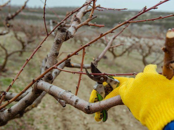 Правильная обрезка не заставит яблоню страдать