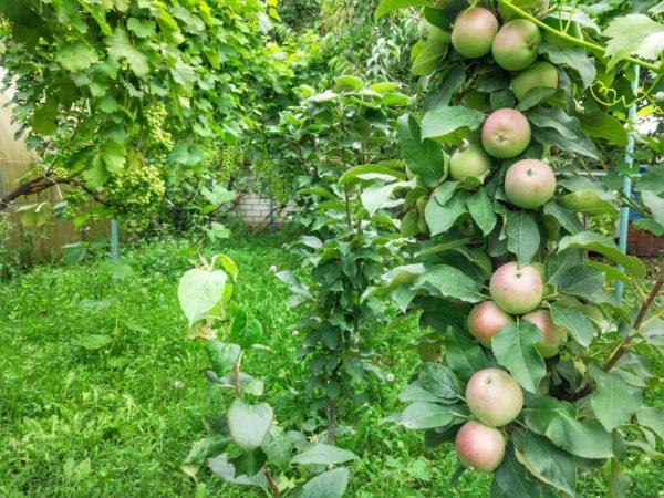 Плоды осенних сортов можно хранить в свежем виде до трех месяцев