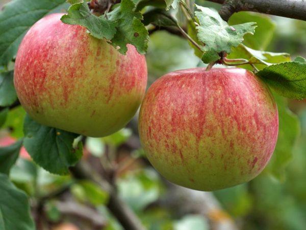 Сочные и нежные яблочки