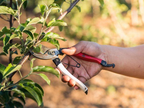 Секатор очень удобен для обрезки яблонь