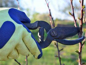 Правила обрезки яблонь летом
