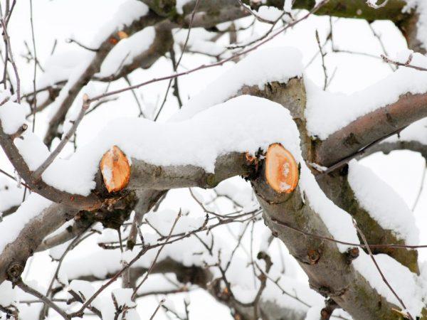 Правила обрезки яблонь зимой