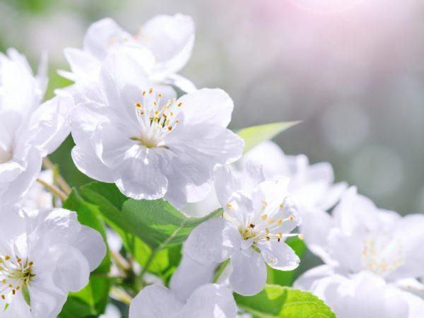 Яблоня цветет и благоухает