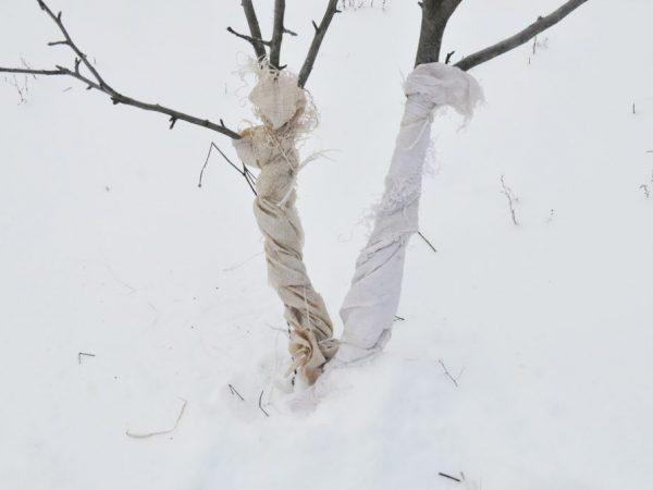 Яблони безболезненно переживают зиму при правильной подготовке осенью