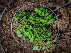 Правила высадки помидоров на рассаду в 2019