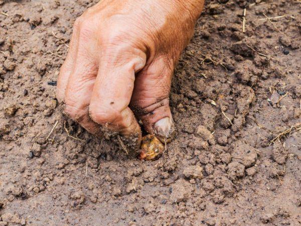 Семена должны быть за ранее подготовлены