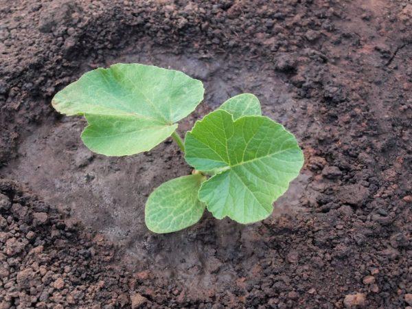 Посадка тыквы семенами и рассадой