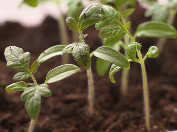 Многие культуры высаживают рассадным методом