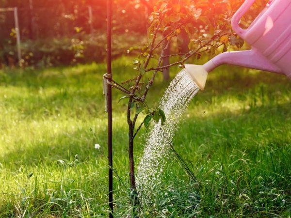 Удобрение наносим под корень
