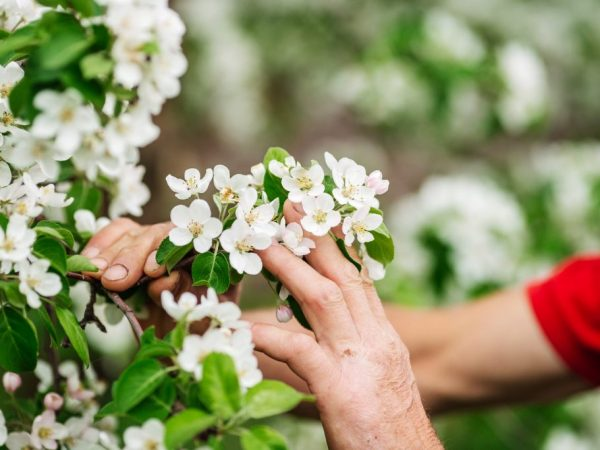 Некоторые яблони начинают быстро цвести