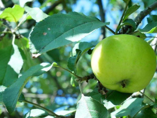 Самые меньшие по калорийности яблоки