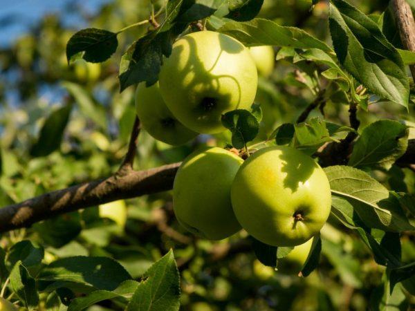 Яблоки вырастают вкусные и сочные