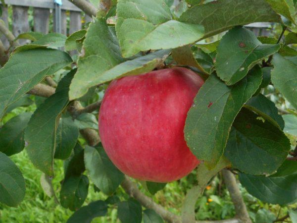 Яблони стоит омолаживать