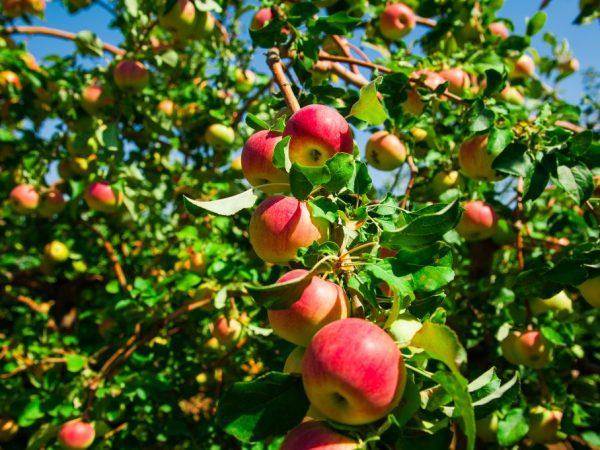 Для получения плодов нужна правильная высадка саженца