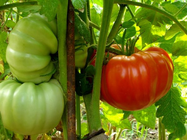 Крупные и мясистые помидоры