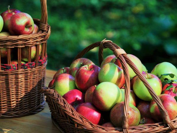 Урожайность сорта зависит от правильности ухода