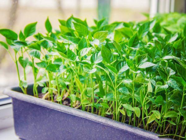 Перед процедурой хорошо полейте молодые растения