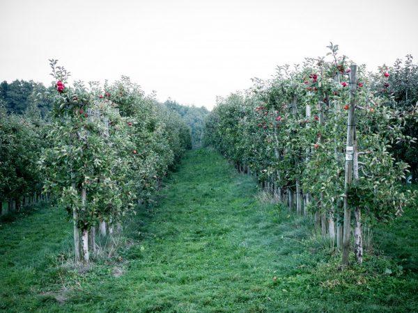 Сорт подходит для выращивания в южных регионах