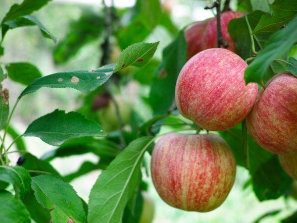 Японские яблоки Фуджи