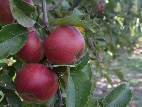 Сорт колоновидной яблони Есения