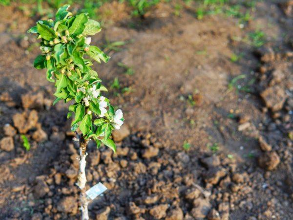 Для профилактики болезней обрабатывают дерево и землю под ним