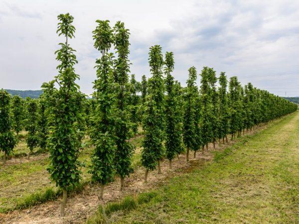 Урожайность яблонь зависит от плодородности почвы