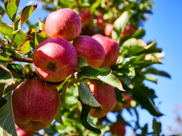 В плодах содержится много витамина С