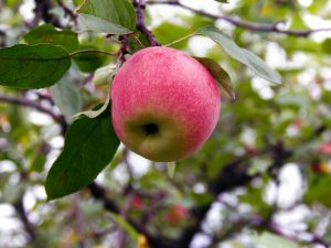 Описание яблони Краса Свердловска