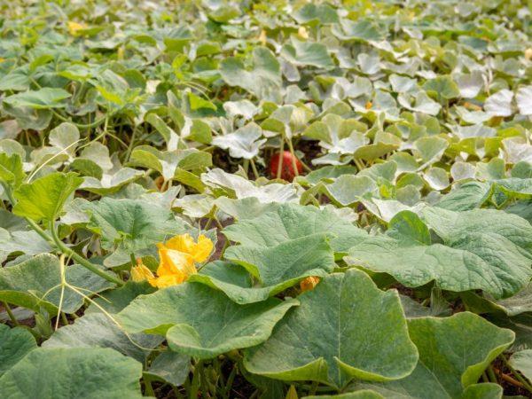 Овощи собирают путем срезания с плодоножки
