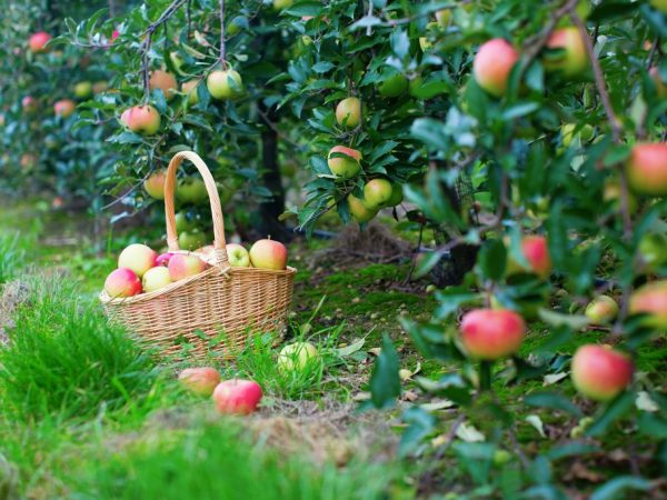 Спелые плоды имеют сладкий вкус