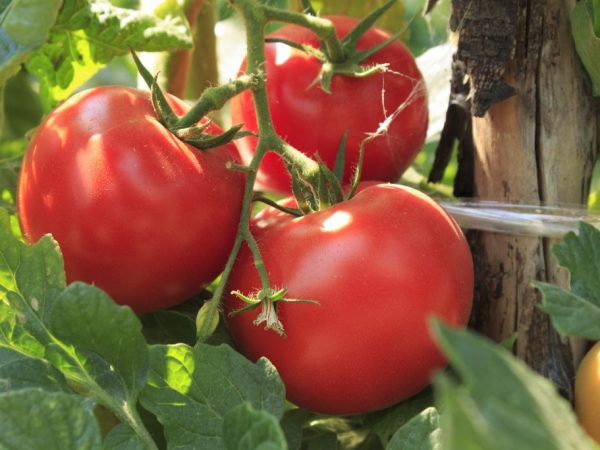 За помидорами нужен тщательный уход