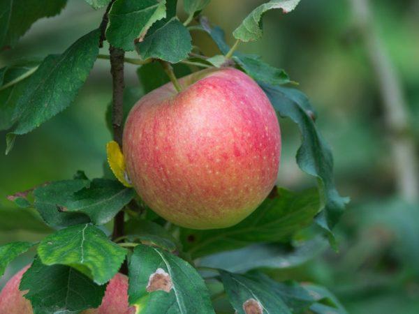 Яблони требуют надлежащего ухода