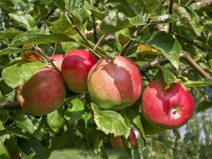 Сортовые особенности яблони Жигулевское