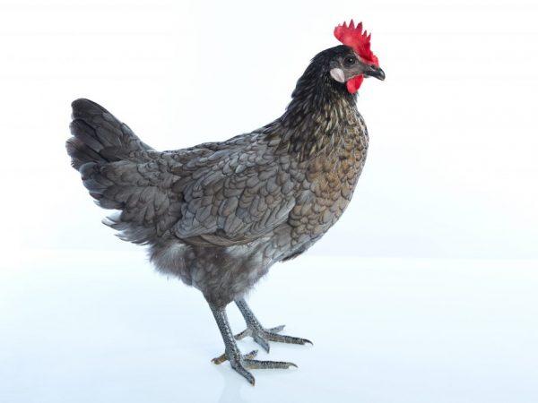 Разведение и содержание андалузских голубых кур