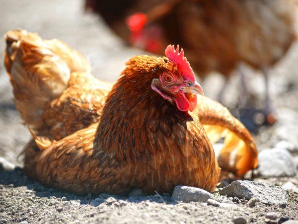 Курицы заражаются друг от друга воздушно-капельным путем