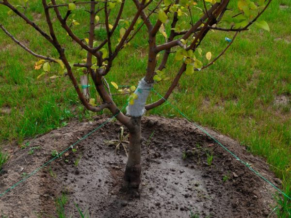 Яблони прививают к разным деревьям