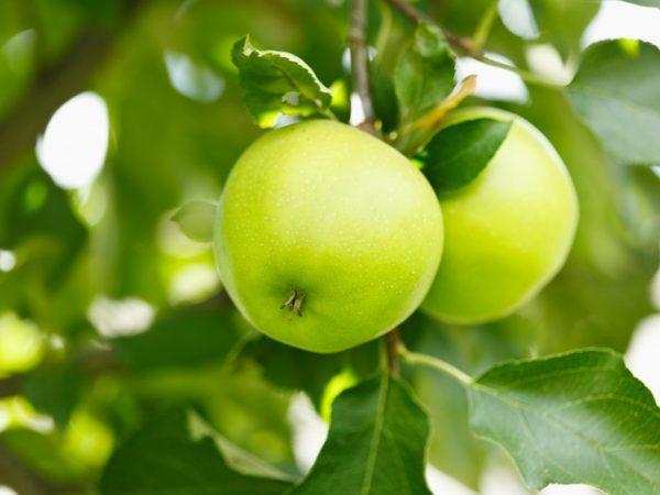 Вкусные сорта яблок