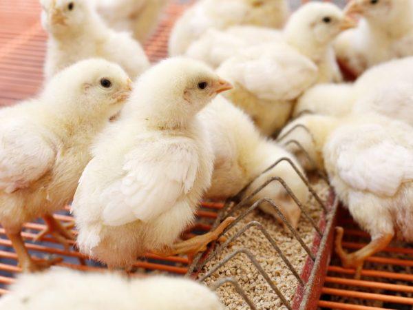 За цыплятами необходимо хорошо ухаживать