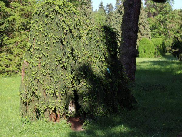 Дерево необходимо регулярно поливать