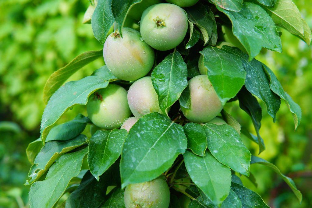 Яблоня колоновидная Приокское описание сорта и урожайность достоинства с фото