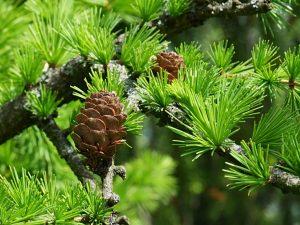 Лиственница Даурская — морозоустойчивое дерево