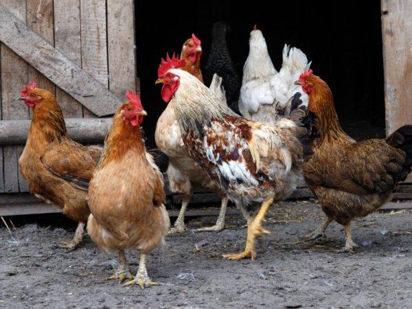 Курицы нуждаются в определенном температурном режиме