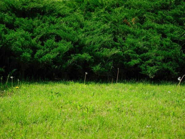 Можжевельник Андорра Компакт — правила посадки и ухода