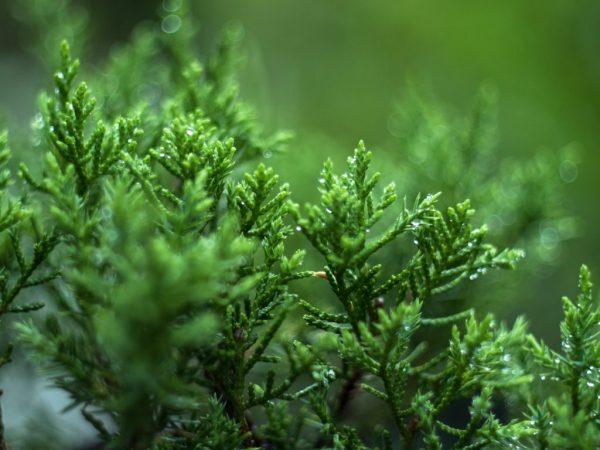 Подкормки повысят иммунитет дерева
