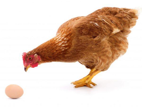 Почему куры клюют яйца и как с этим бороться