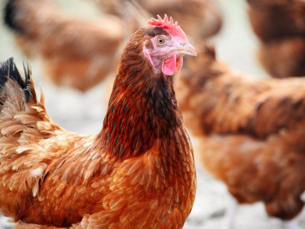 Курицы спокойно живут в замкнутом пространстве
