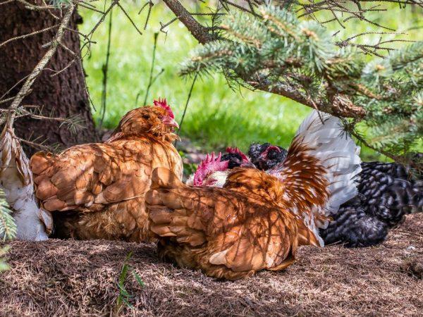 Очень стрессоустойчивые курицы