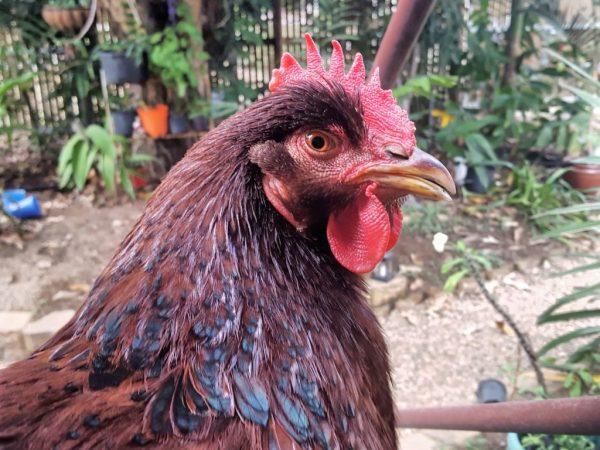 Курицы породы Род Айленд