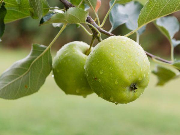 Зеленые зимние яблоки хорошо хранятся