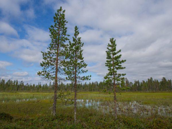 Дерево не нуждается в формировании кроны
